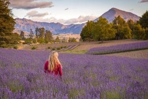 field of lavender with person and mountians