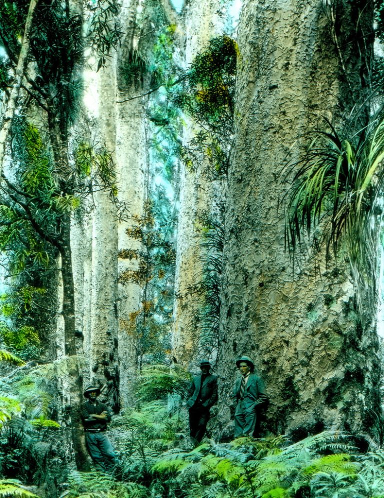 huge Kauri tree forest with 3 men